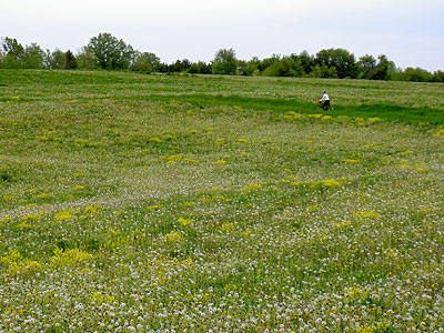 Paul rides through dandelion field
