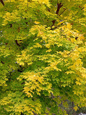 Yellow leaves in Minneapolis Tree