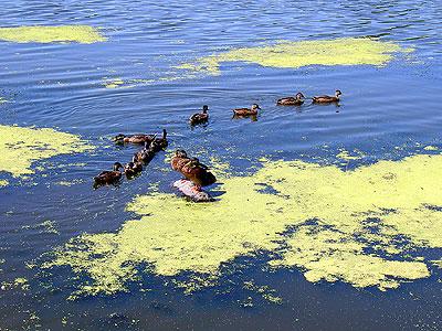 Ducks at Como Lake